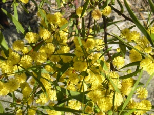 Lots of beautiful wattle blooming in SA