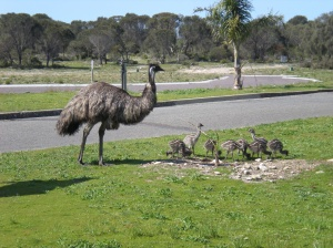 We saw many emus with chicks but this was the only one who wasn't camera shy