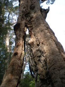 The Giant Tingle Tree