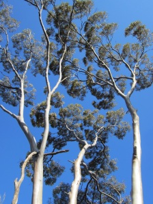 Karlkurla Bushland Park - Silver Gimlet Trees