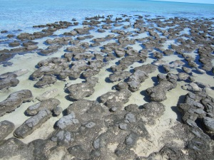 Stromatolites at Hamlin Pool