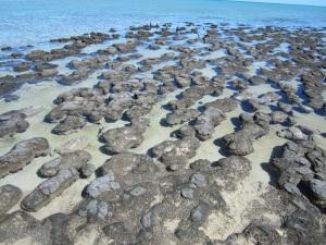 Stromatolites at Hamlin Pool
